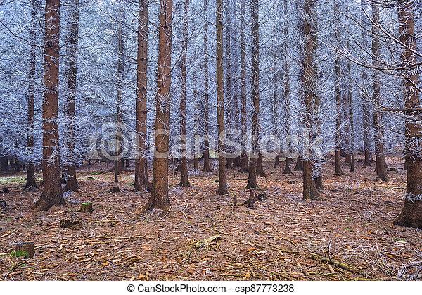 neposkvrněný, jehličnatý, zima, fešný, les, větvit, zamrzlý - csp87773238