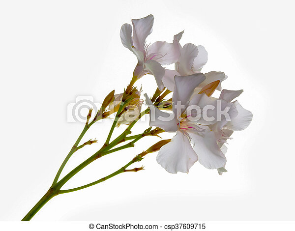 Nerium oleander white oleander white flowers white background nerium oleander white csp37609715 mightylinksfo