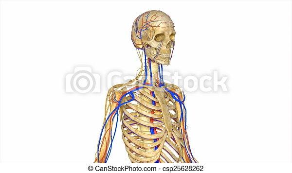 Skelett, befestigt, bewegung, movement., besteht, zusammen., knochen ...