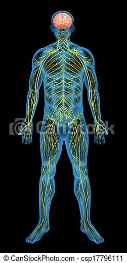 nerv systemet, mänsklig - csp17796111
