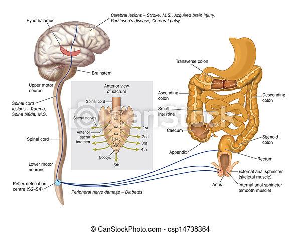 Nerve pathways controlling rectum - csp14738364