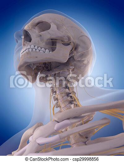 Nerven, hals. Hals, genau, -, abbildung, medically, nerven.