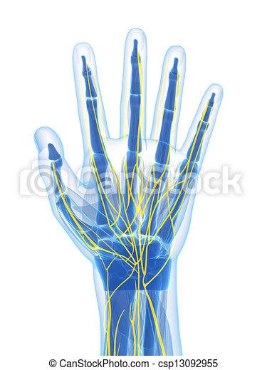 Nerven, menschliche hand. Geleistet, abbildung, hand, menschliche ...