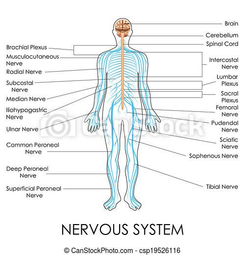 Nervensystem. Diagramm, nervös, vektor, system, abbildung.