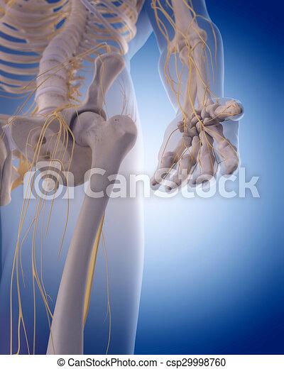 Nervios, mano. Exacto, -, ilustración, mano, medically ...