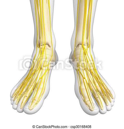 Nervous system of foot skeleton artwork. Illustration of foot ...
