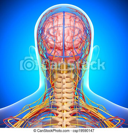Nervous system of human head 3d rendered illustration of nervous nervous system of human head csp19590147 ccuart Image collections
