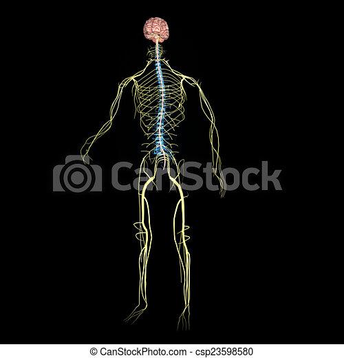 Nervous system - csp23598580