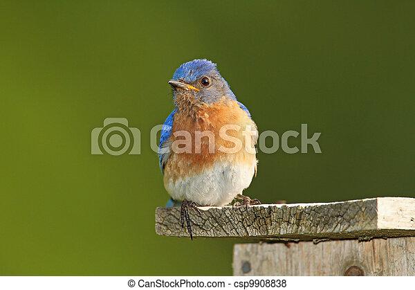Un pájaro azul del este masculino en el nido - csp9908838