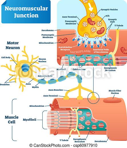 Neuromuscular Junction Vector Illustration Scheme Labeled Cell