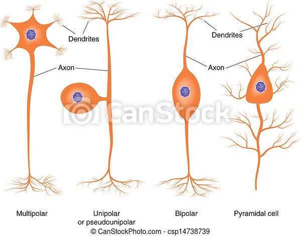 Grficos vectoriales de neurona tipos bsico  Illustration de