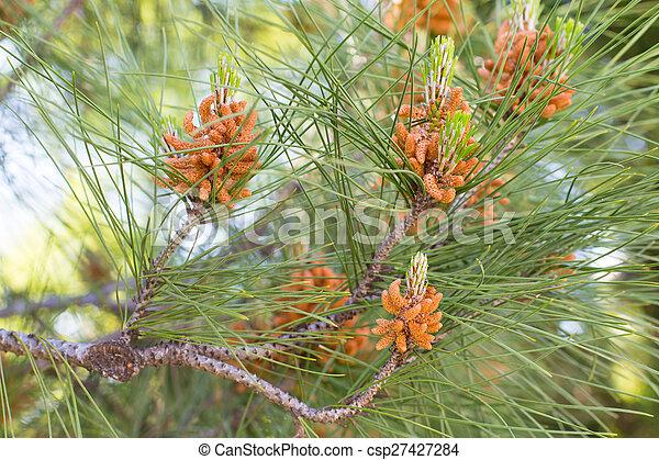 New cones of the pine tree - csp27427284