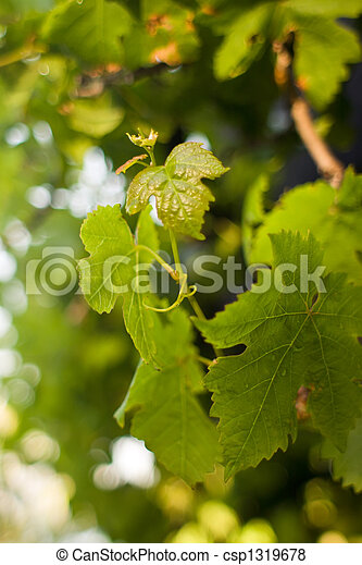 New Grape Leaves - csp1319678