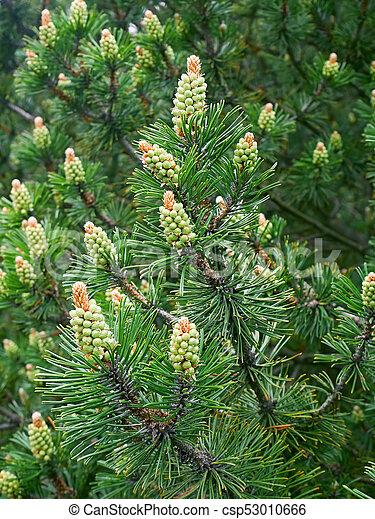 New Pine pollen cone
