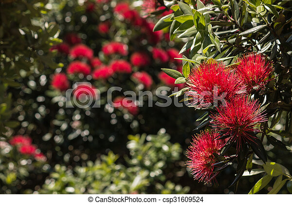 New Zealand Christmas Tree.New Zealand Christmas Tree Flowers