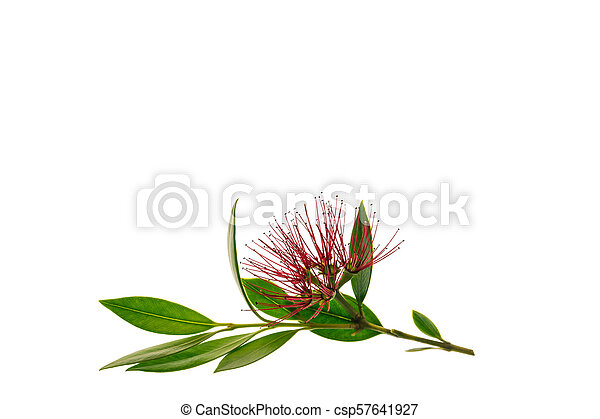 Metrosideros Excelsa New Zealand Christmas Tree Flowers Isolated