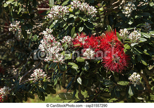 Closeup Of New Zealand Christmas Tree Flowers