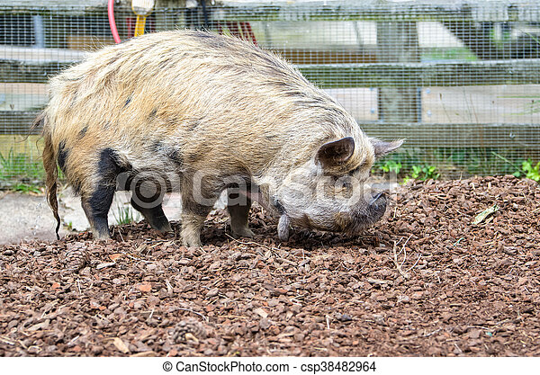 New Zealand Kunekune pig