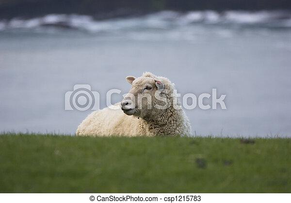 New Zealand - Sheep - csp1215783