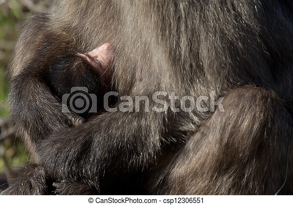 Newborn baboon infant - csp12306551