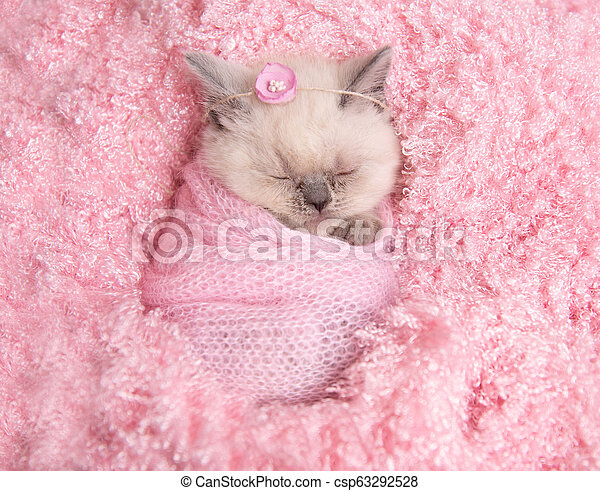 newborn-british-kitten-sleeps-on-pink-st