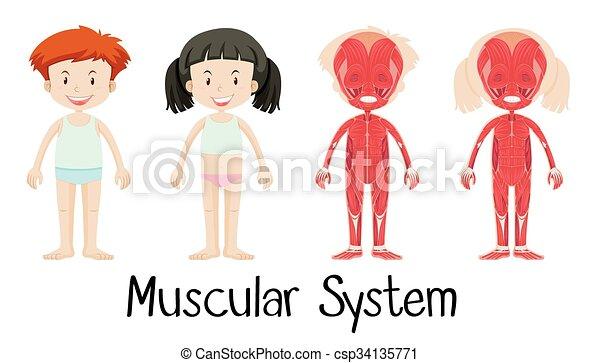 Diagrama, ilustración, vector, sistema, muscular.