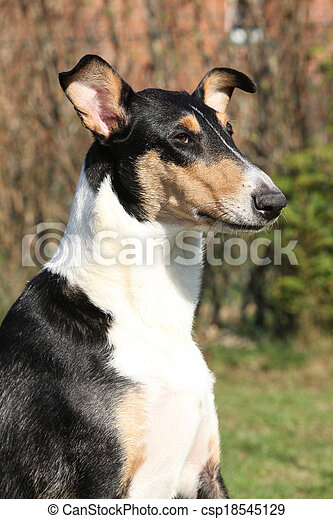 Nice Collie Smooth in the garden - csp18545129