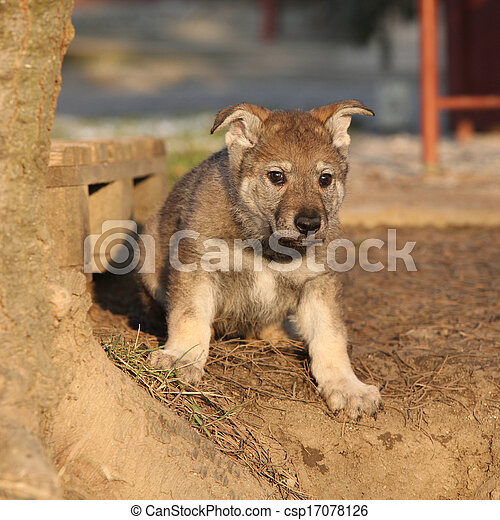 Nice Czechoslovakian wolfdog puppy - csp17078126