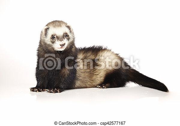 Nice ferret on reflective white background - csp42577167