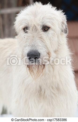 Nice Irish Wolfhound in winter garden - csp17583386