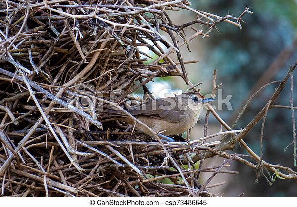 El pájaro que habita una gran parte de las Américas, en su nido hecho con ramas de árbol - csp73486645