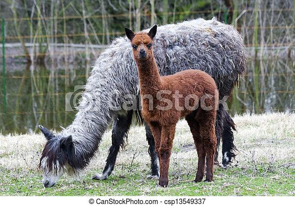 niemowlę, alpaka - csp13549337