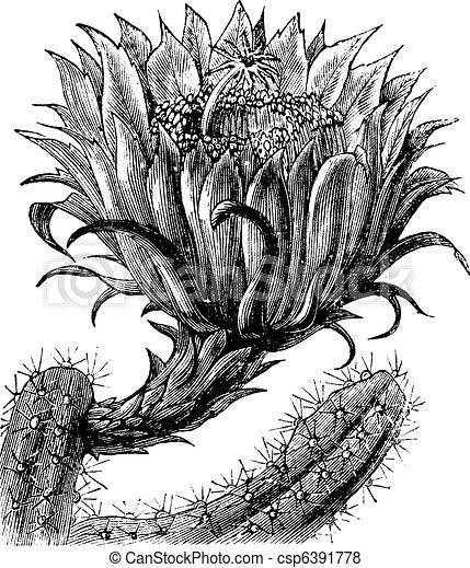 Nightblooming Cereus or Queen of the Night or Large-flowered Cactus or Sweet-Scented Cactus or Vanilla Cactus or or Selenicereus grandiflorus vintage engraving - csp6391778
