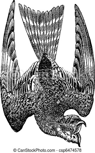 Nighthawk or Nyctiprogne sp. or Lurocalis sp. or Chordeiles sp. or Podager nacunda, vintage engraving - csp6474578