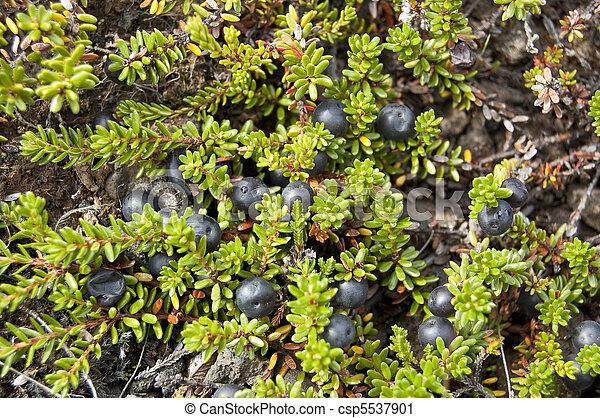Black Crowberry (Empetrum nigrum) - csp5537901