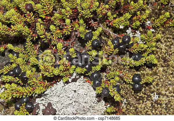 nigrum), crowberry, schwarz, (empetrum - csp7148685