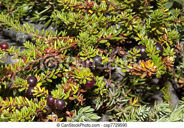 nigrum), crowberry, schwarz, (empetrum - csp7729590