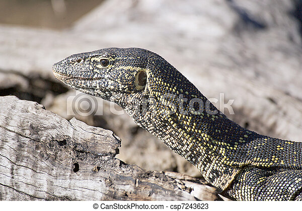 Nile monitor lizard - csp7243623