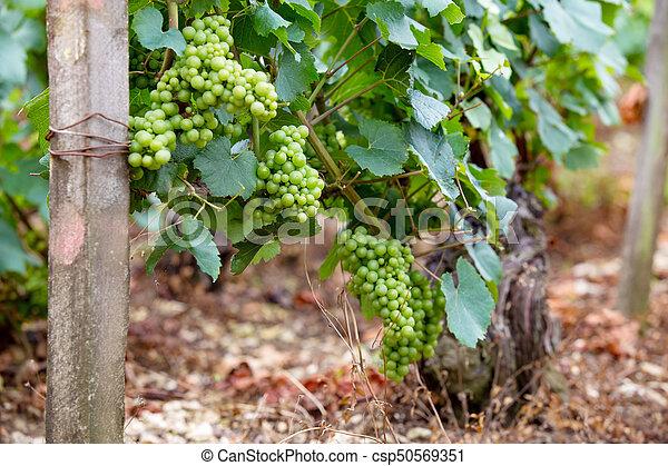 Un montón de uvas nobles en un arbusto - csp50569351