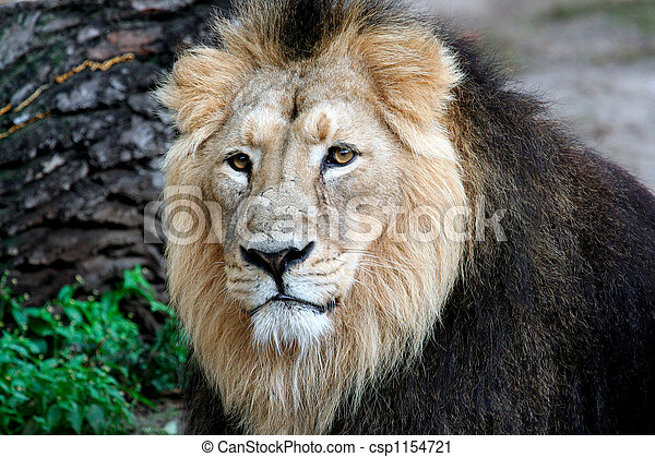 Noble Lion portrait - csp1154721