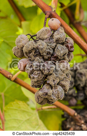 Noble vino podrido, uvas con moho, Botrytis, Sauternes - csp42425439