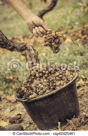Noble vino podrido, uvas con moho, Botrytis, Sauternes - csp42425461