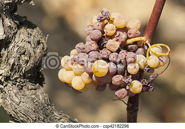 Noble putrefacción de una uva de vino, uvas con moho, Botrytis - csp42182296