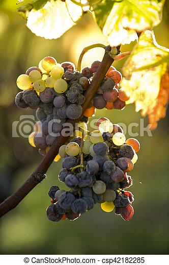 Noble putrefacción de una uva de vino, uvas con moho, Botrytis - csp42182285