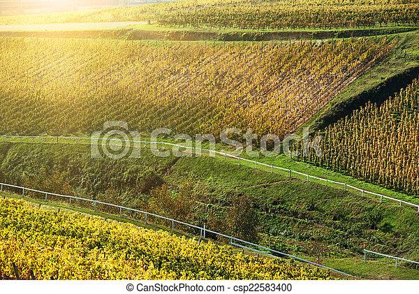 Noble putrefacción de una uva de vino, uvas botrytizadas - csp22583400