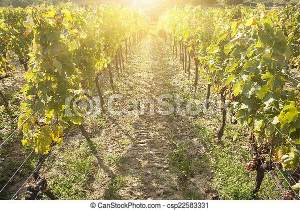 Noble putrefacción de una uva de vino, uvas botrytizadas - csp22583331