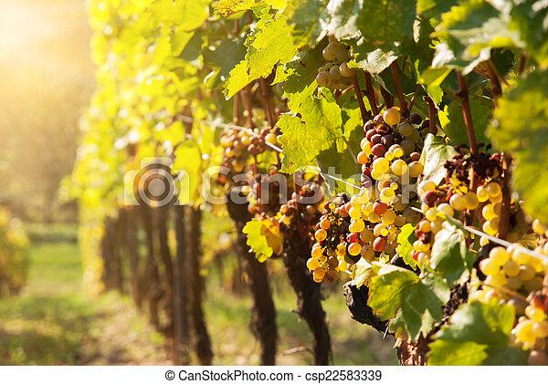 Noble putrefacción de una uva de vino, uvas botrytizadas - csp22583339