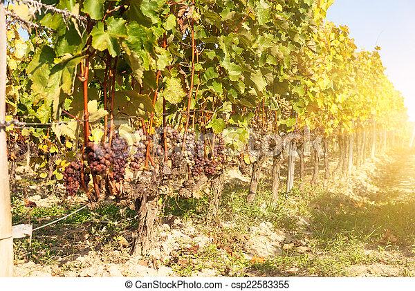 Noble putrefacción de una uva de vino, uvas botrytizadas - csp22583355