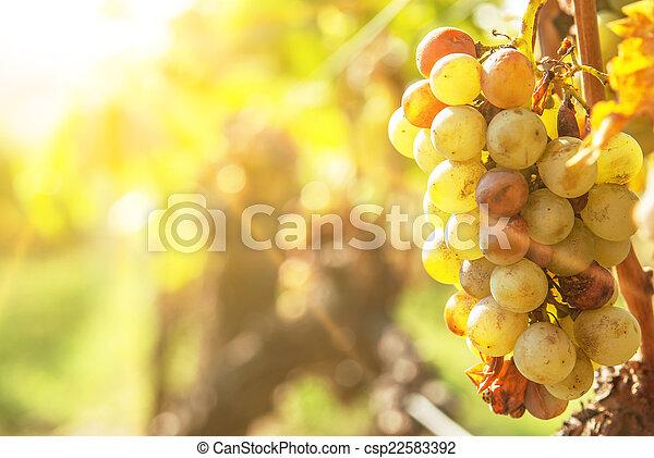 Noble putrefacción de una uva de vino, uvas botrytizadas - csp22583392