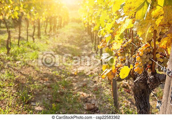 Noble putrefacción de una uva de vino, uvas botrytizadas - csp22583362